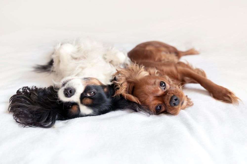 Two cavalier spaniels lying next to each other on bed