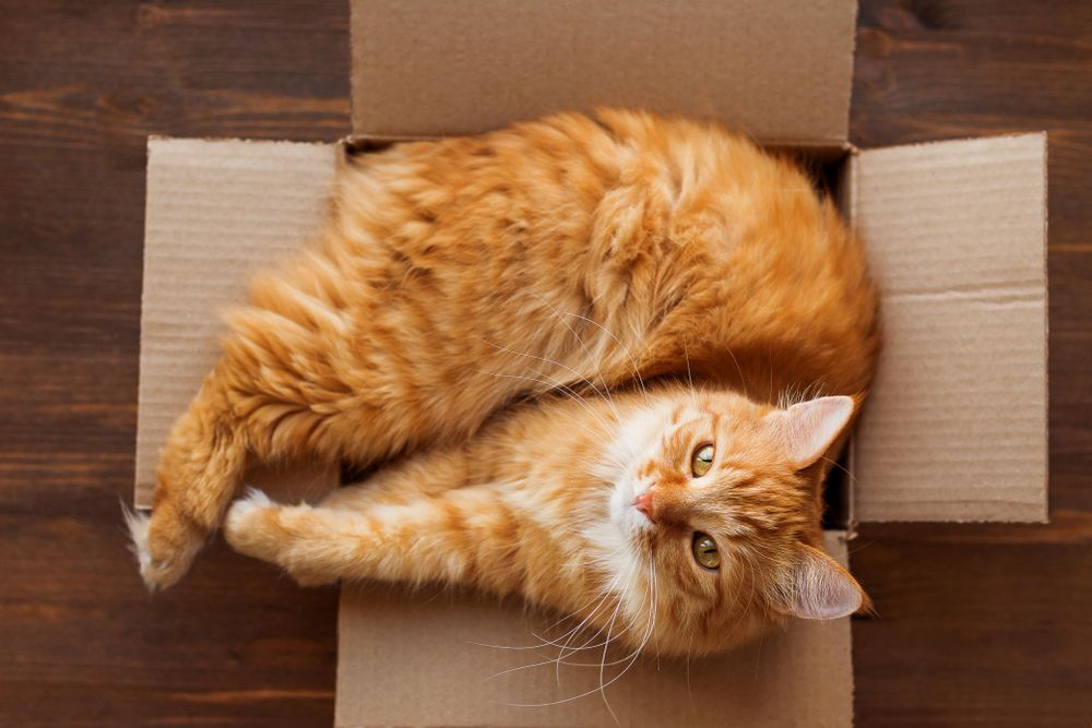 Fluffy ginger cat looking up from cardboard box
