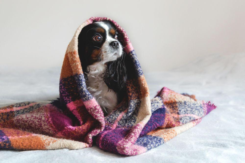 Cavalier spaniel sitting under under purple blanket